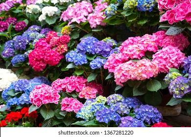 Hortensia flowers in flowerpots for sale. Gardening concept. Florist shop background.