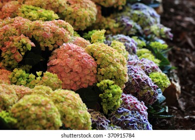hortensia flowers as very nice natural background