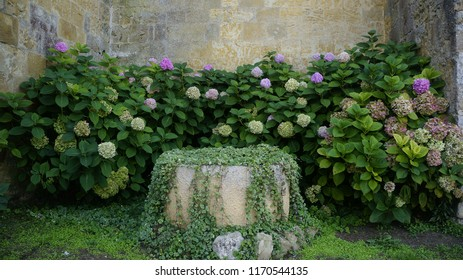 Hortensia in front of a well