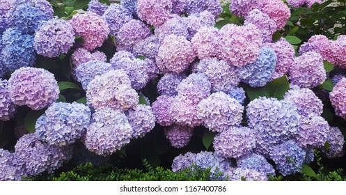 Hortensia in full bloom