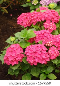 Hortensia in the garden