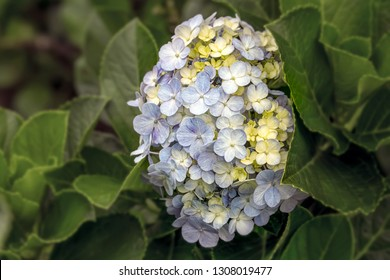 Hortensia Garden. Hortensia is the genus name of 70-75 flowering plant species originating from East Asia and South Asia (Japan, China, Himalayas, Indonesia), North America and South America.