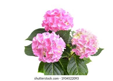 Hortensia isolated on white background. Pink hydrangea.