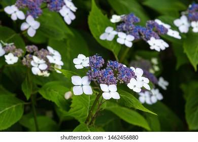 Hortensia (lat. gydrangea serrata) full blossom in the summer garden. Decorative flowering shrubs of gydrangea in the garden.