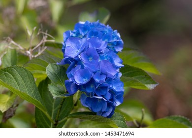 Hortensia matig blue in the summer
