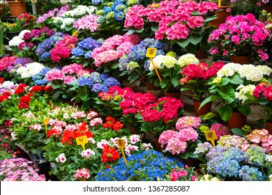 Hortensia and other flowers in flowerpots for sale at flower market in Paris, France. Gardening concept. Florist shop background.