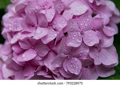 Hortensia pink flower with rain drops, hydrangea, background