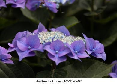 Hortensia Purple full blossom in the summer
