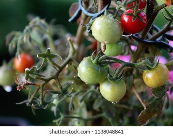 Horticulture in the garden: cherry tomato plant plenty of  fruits to ripe