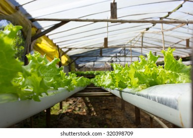 Horticulture Garden growing Lettuce Plants inside Greenhouse with Aquaponic (Hydroponic) System