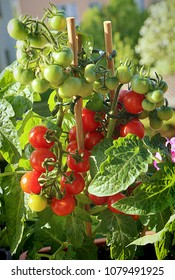 Horticulture on the balcony: Cherry tomato plant full of fruits ready to harvest