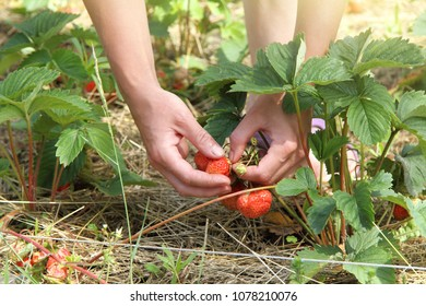 horticulturist  collects fresh strawberries hand from the bushes in the garden / red summer fruits
