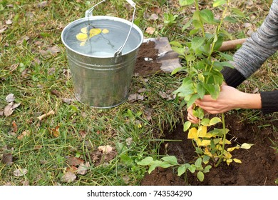 horticulturist with fruit bush in his hands on background  full bucket of water and shovel / planting  seedling in garden