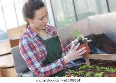 Horticulturist repotting seedlings