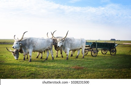 HORTOBAGY, HUNGARY - OCTOBER 31, 2015: Hungarian Csikos or herdsmen with Traditional Hungarian Grey Steppe. Hortobagy National Park, Hungary