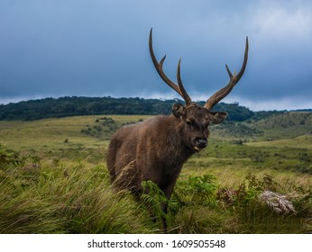 horton plains national park Sambar in sri lanka