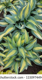 Hosta 'Catherine' Beautiful new variety of Hosta with good slug resistance