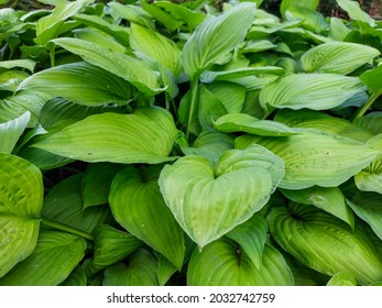 Hosta 'Fortunei Albopicta'. Medium to large, smooth, prominently-veined, oval, dark green leaves are variegated with irregular white margins. Each leaf has rounded and pinched lobes