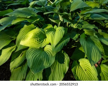 Hosta 'Fortunei Albopicta'. Medium to large, smooth, prominently-veined, oval, dark green leaves are variegated with irregular white margins. Each leaf has rounded and pinched lobes in sunlight