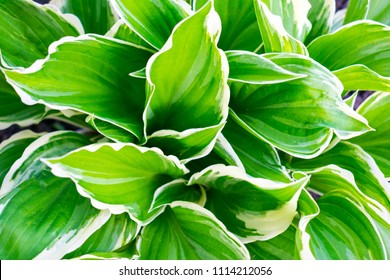 Hosta (Funkia, plantain lilies) in the garden. Close-up green leaves with light border background.