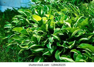 Hosta, Funkia, plantain lilies, in the garden. Close-up green leaves with light border background.