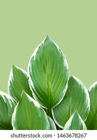Hosta Funkia, plantain lilies on a green background. Wide Brim Hosta, Plantain Lily. Top view. Copy space