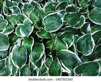 Hosta (Funkia, plantain lilies) top view. Close-up green leaves with light border background.