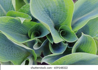 Hosta in the garden