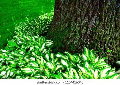 Hosta garden around large old tree