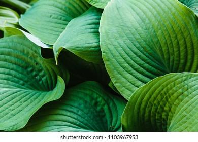 Hosta in the garden. Green leaves of perennial hosta, natural background. Green background. Background of leaves. Hosta plant for a shady garden. The concept of gardening.