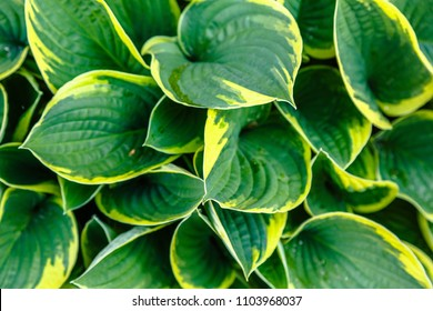 Hosta in the garden. Green leaves of perennial hosta, natural background. Green background. Background of leaves. Hosta plant for a shady garden. The concept of gardening.