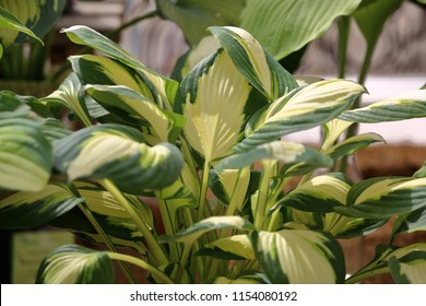Hosta is a genus of perennial herbaceous plants of the family Asparagaceae