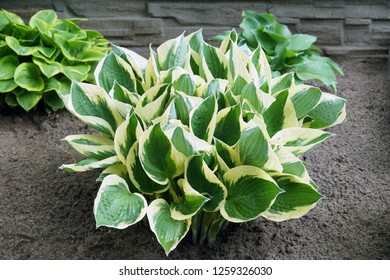 Hosta is a genus of plants commonly known as hostas, plantain lilies (in Britain) and occasionally by the Japanese name giboshi. In the picture, three varieties of this plant.