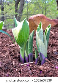 Hosta is a genus of plants commonly known as hostas, plantain lilies and occasionally giboshi. Hostas are widely cultivated as shade-tolerant foliage plants. This photo is the hosta in its infancy.