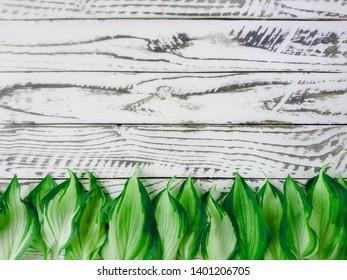 Hosta green leaves pattern on white wooden background. Summer hosta plant leaves on white wooden plank background, wallpaper. Hosta lily spring leaves above white wooden fence background. Retro board