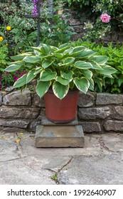 Hosta healthy in plant pot