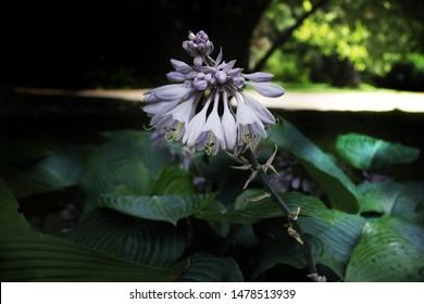 Hosta, hosta kikutii,Hosta is a genus of about 23–45 species of lily-like plants native to northeast Asia