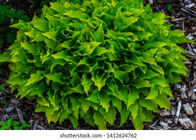 Hosta (lat. Hosta) in garden. Hosta - genus of perennial herbaceous plants of the family Green. Beautiful bright green leaves ornamental plant hosta.