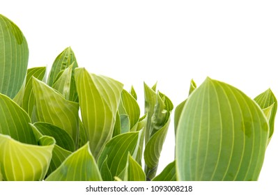 hosta leafs isolated over white background