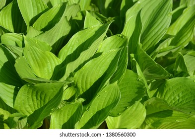 Hosta leaves early in the morning.