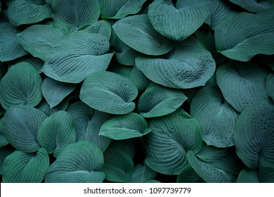 Hosta leaves pattern background. Summer plants wallpaper. Hosta lily leaf