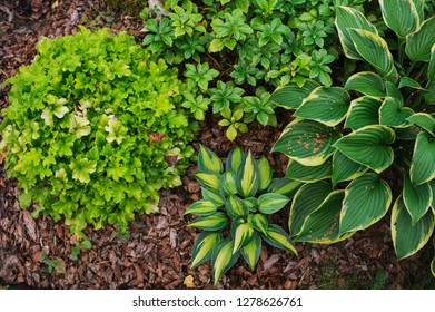 Hosta Magic Island planted together with heuchera Lime Marmalade in shady garden. Shade tolerant plants for garden design