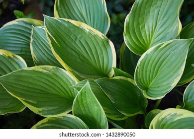 Hosta Patriot plant in the garden. Closeup yellow and green leaves background. Hosta - an ornamental plant for landscaping park and garden design