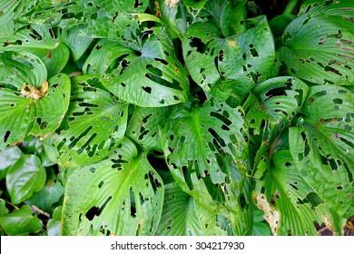Hosta plant damaged by snails and slugs