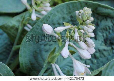 Hosta Plant Flowering Hosta Big Daddy Stock Photo Edit Now