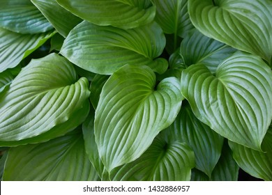Hosta plant in the garden. Closeup green leaves background. Hosta - an ornamental plant for landscaping park and garden design