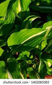 Hosta plant on a sunny day. Macro photo of hosta leaves. green hosta (Plantain lilies) leaves on a sunny day.