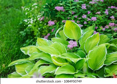 hosta planted in summer garden with other perennials