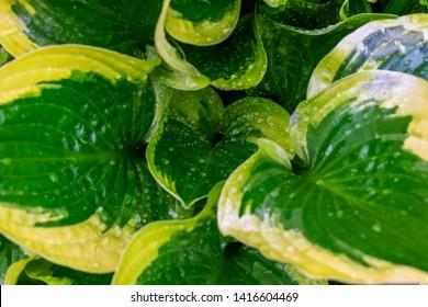 Hosta plants. Green and yellow hosta. Wet hosta leaves. Rain covered leaves.