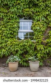 Hosta plants in pots under window with ivy background